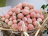 White Carolina Pineberry Plants - 10 Roots -Bareroot-Pineapple/Strawberry Flavor