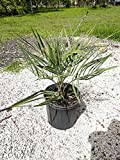 PlantVine Butia capitata, Cocos Australis, Pindo Palm, Wine Palm, Jelly Palm - 10 Inch Pot (3 Gallon), Live Plant