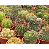 All Cactus Species Seed Mix 50, 250 or 500 seed quantity options (50 Seeds)