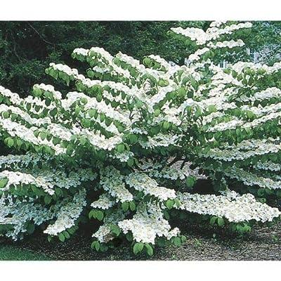 AchmadAnam - Live Plant - Shasta Doublefile Viburnum - Shipped Over 2 Feet Tall : Garden & Outdoor