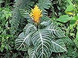 Aphelandra squarrosa: Zebra plant