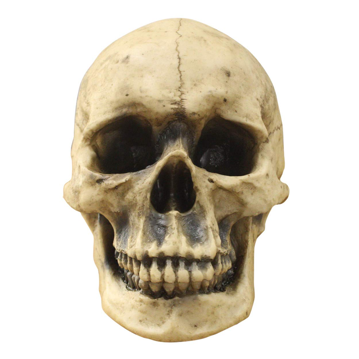 Wall Charmers Life Size Human Skull - 8.5'' Realistic Faux Human Anatomy - Table Top Skeleton Head Home Decor by Wall Charmers
