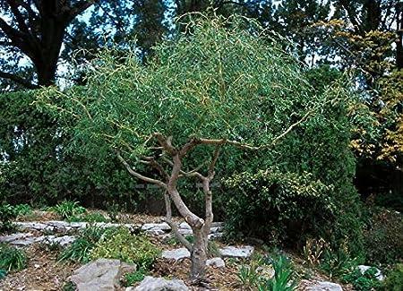 Amazon Com 2 Corkscrew Willow Trees Live Tree Cuttings