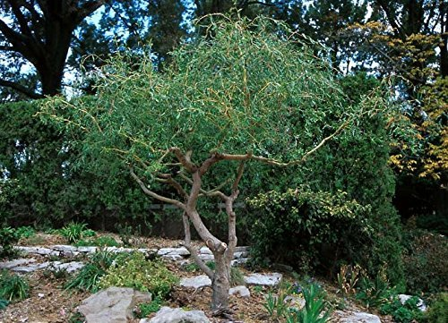 2 Corkscrew Willow Trees - Live Tree Plants - Branches and Leaves Curl Very Distinctly