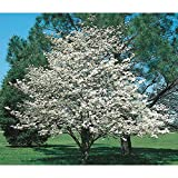 2 Spring Blooming White Dogwood Trees Beautiful Tree For the Yard