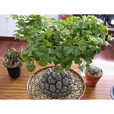 3 seeds/pack Meat seeds tortoise shell discorea elephantipes seeds tree bonsai : Garden & Outdoor