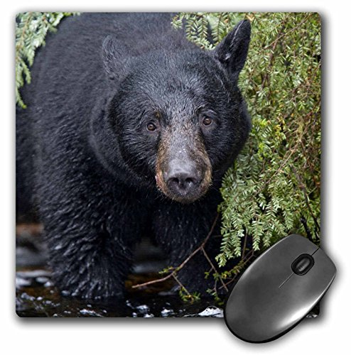 3dRose LLC 8 x 8 x 0.25 Inches Mouse Pad, Alaska Kake Black Bear Chum Salmon Fish Paul Souders (Fish Chum Salmon)