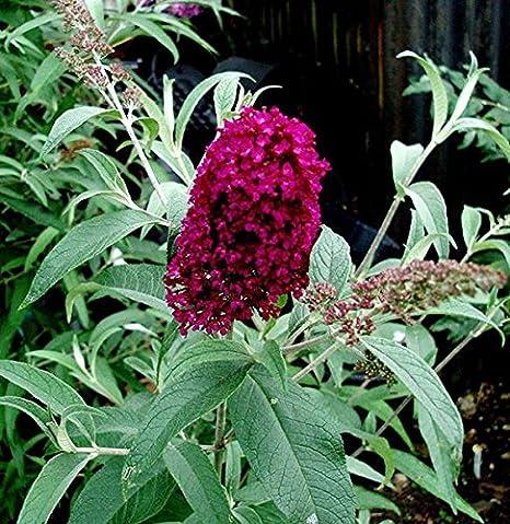 1 X BUDDLEJA DAVIDII SUGAR PLUM BUTTERFLY BUSH DECIDUOUS SHRUB PLANT IN POT