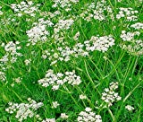 Caraway 400 Seeds Carum Carvi Culinary The Leaves and Shoots are Salad Tkmokey