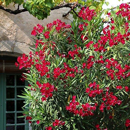 1 Pflanze rot Oleander K/übelpflanzen angenehmer Duft TOM-GARTEN 40-60 cm H/öhe ca