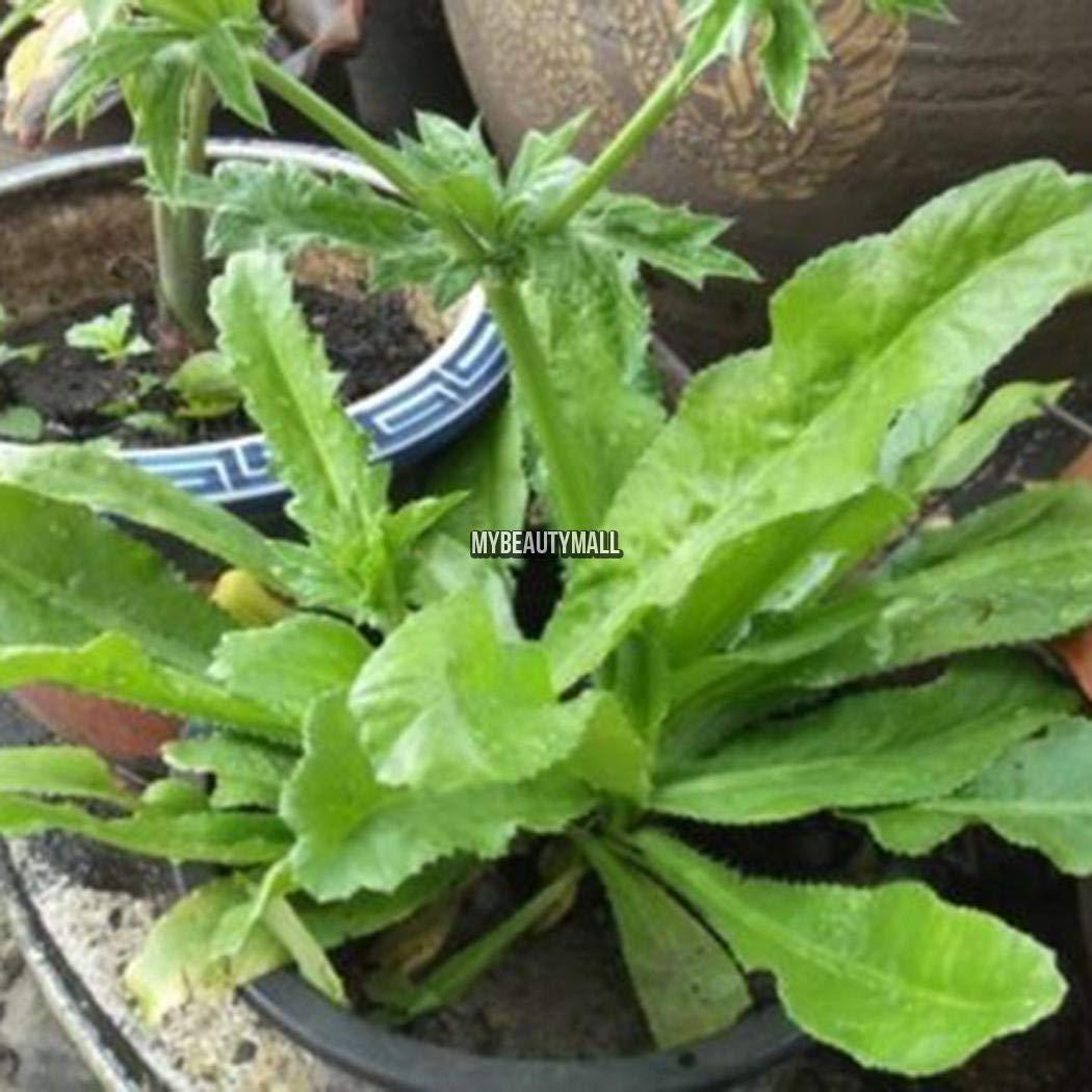 Portal Cool Seeds Package 100 Unids Recao Culantro Seas Cilantro Ancho Vegetal Eryngium Foeti My8L 01