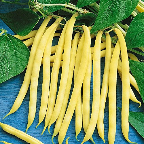 Seed Gold Bean - Yellow/Gold Dwarf French Bean 100 seeds / pack (jumbo)