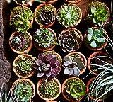 40 Plants of Mini Succulent Planted Pots