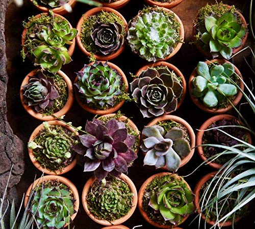 40 Plants of Mini Succulent Planted Pots by Coral LLC (Image #3)