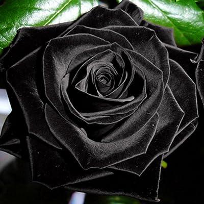 hudiemm0B Black Rose Seeds, 100Pcs Mysterious Black Rose Flower Plant Seeds Rare Plant Garden Home Decor: Sports & Outdoors
