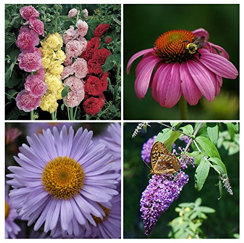 Save 25%! PERENNIALLY YOURS GARDEN Seed Kit - 4 Types of Perennial Flowers - Hollyhock, Echinacea, Michaelmas Daisy, Butterfly ()