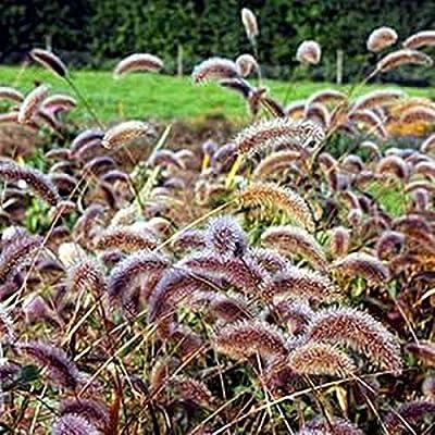 Setaria Viridis Caramel : Garden & Outdoor