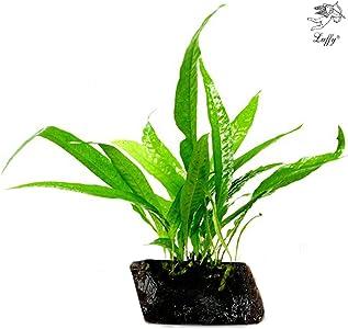 Luffy Coco Aquatic Plant
