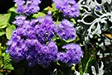 Home Comforts Peel-n-Stick Poster of Nature Flora Ageratum Plant Garden Flower Purple Poster 24x16 Adhesive Sticker Poster Print