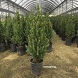 2.5 Qt. - Dwarf Alberta Spruce - Evergreen Shrub/Tree(Trade Gallon)