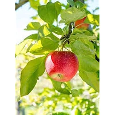 AchmadAnam - Live Plant - 2 Red Delicious Apple Trees. E17 : Garden & Outdoor