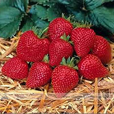 Elan F1 Strawberry Seeds, 1 Professional Pack, 100 Seeds / Pack, Large Bright Red Bi-conical Shaped Fruit Strawberry#NF537 : Garden & Outdoor