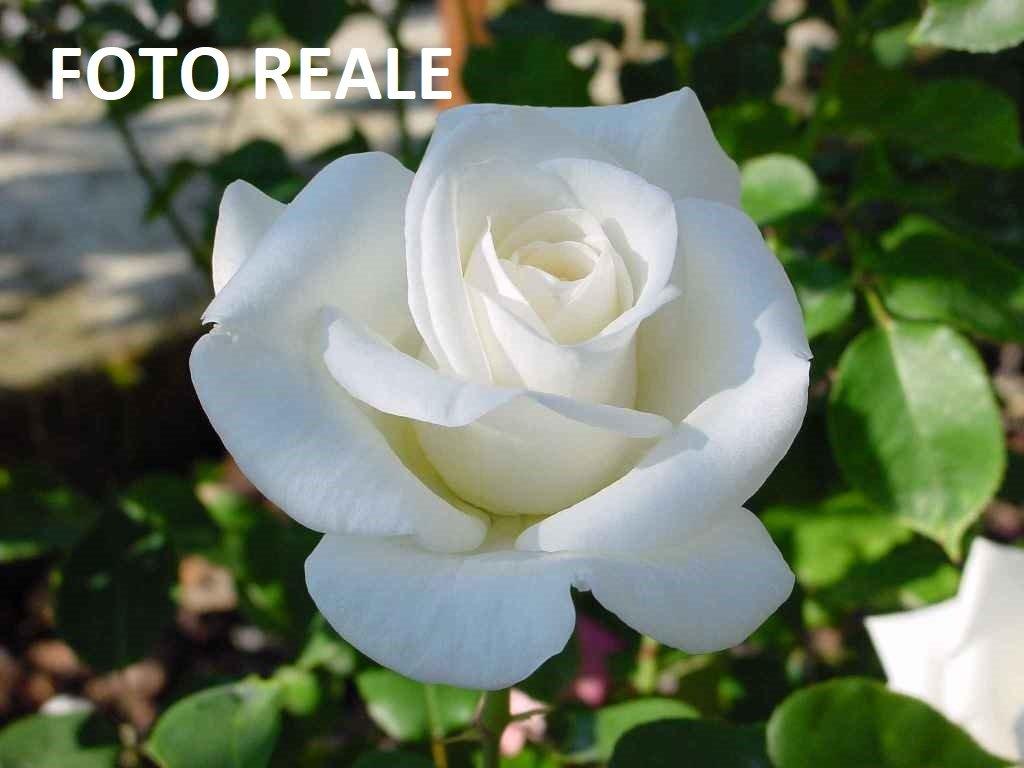 Pianta di Rosa a CESPUGLIO Virgo Bianca (vera) vaso quadro cm 22 FOTO REALE AMDGarden Rose Barni