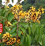 Red Sandalwood 5 Seeds Small Rare Tropical Tree Pterocarpus santalinus bright green leaves Bonsai Perfect Houseplant Container Gardening