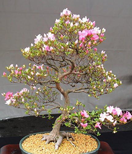 10 Japanese Flowering Cherry Blossom Exotic Rare Sakura Bonsai Seeds Amazon Co Uk Garden Outdoors