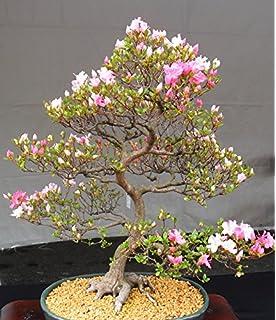 Amazon Com Japanese Black Pine 25 Seed Bonsai Bonsai