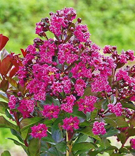 Baldur Garten Flieder Des Sudens 1 Pflanze Lagerstroemia Indica