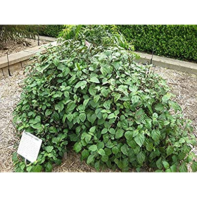 10 Herb Seeds True Patchouli Shrub Fragrant Patchouly Pogostemon Cablin Herb Seeds for Planting #RR01 : Garden & Outdoor