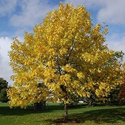 Northern Red Ash Tree Seeds (Fraxinus pennsylvanica) 30+Seeds : Garden & Outdoor