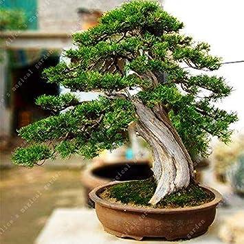 Ferry 200 St/ück Seltener Mini Bonsai Bromelie Palnts exotische Pflanze Bonsai Blume Zimmerpflanzen Strahlenschutz Bonsai reinigt die Luft 4