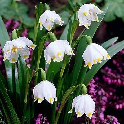 10 Leucojum vernum (Spring Snowflake) Flowers SEEDS, Hardy Perennial : Garden & Outdoor