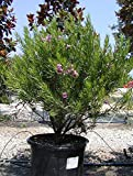 Desert Willow Tree (Chilopsis linearis), 200 Seeds, Pink Flower
