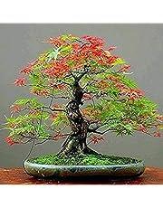 XKSIKjian's Garden, 30Pcs Japanese Maple Tree Seed Acer Palmatum Bonsai Ornamental Plant Home Decor Non-GMO Open Pollinated Seeds for Planting