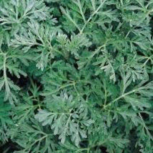 Discount Herb Seeds - Wormwood - 8000 Seeds