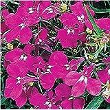 Fiore - Lobelia Rampicante - Regatta Rosa - 1000 Seme