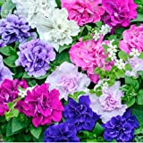 New Mixed Double-petalled Hanging Petunia Hybrid Seeds, 200 + Seeds