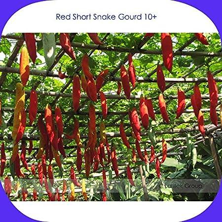 Long Snake Gourd Seeds Original Pack 4 Seeds // Pack Serpent Gourd Edible Vege