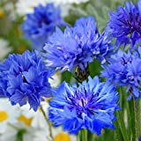 Centaurée cyanus Double Midget - bleuet 300 graines