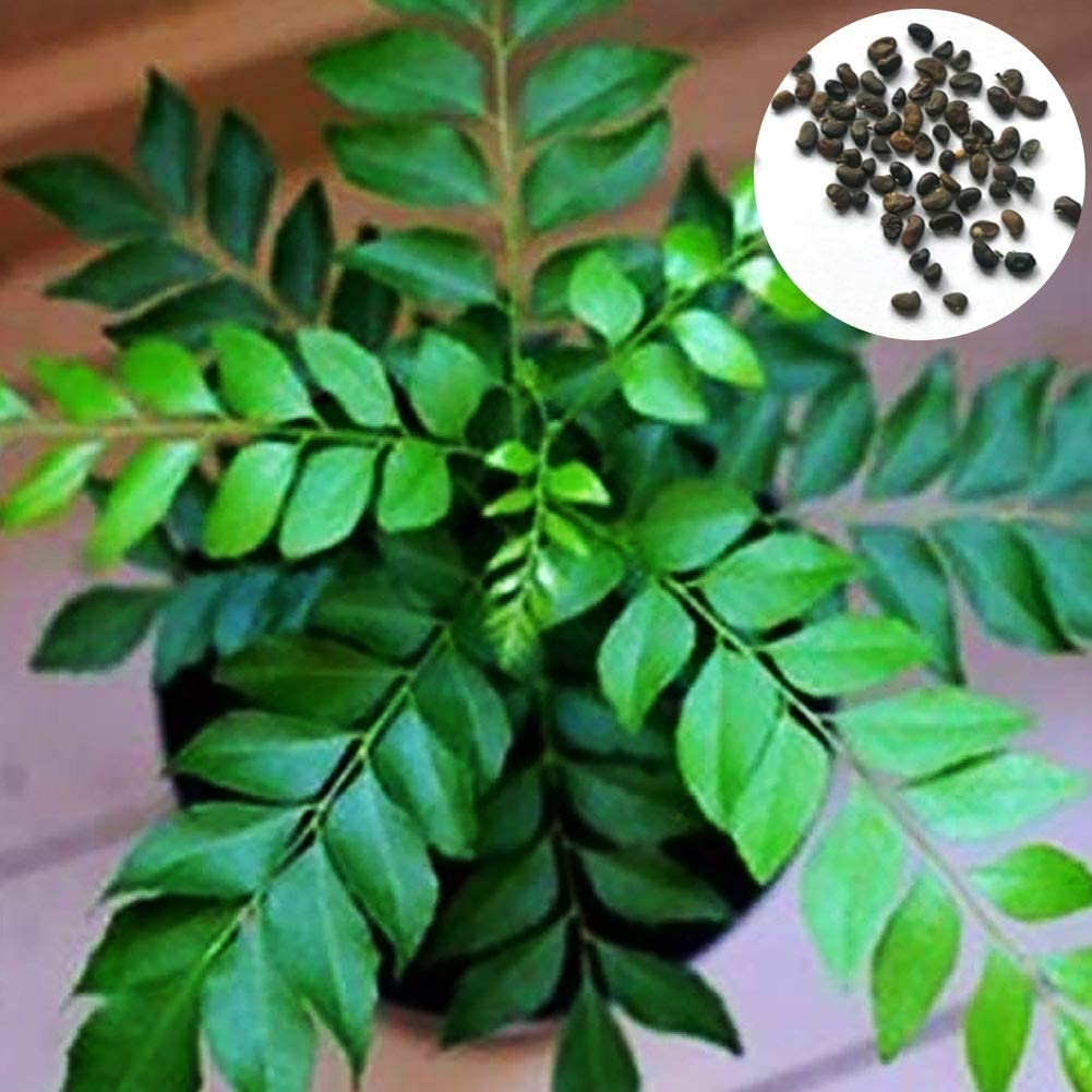 hudiemm0B Curry Seeds 400Pcs Curry Leaf Tree Seeds Culinary Herb Plant Outdoor DIY Home Garden Decor