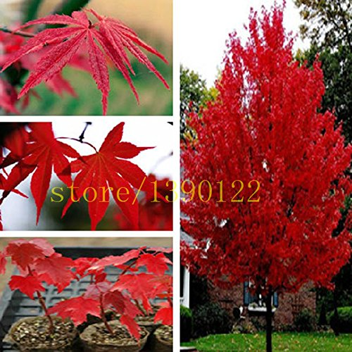 (20 pcs american red maple seeds tree seeds maple for home GARDEN planting easy grow very rare tree seeds)