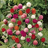 Kings Seeds - Gomphrena Qis Mixed - 75 Seeds