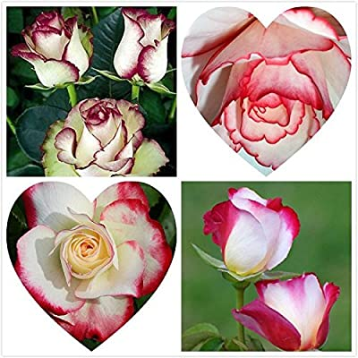 Loss Promotion! Swept Away Rose Seeds --Fire & Ice Rose ,Beautiful Diy Home Garden Flower 100 Particles / Bag