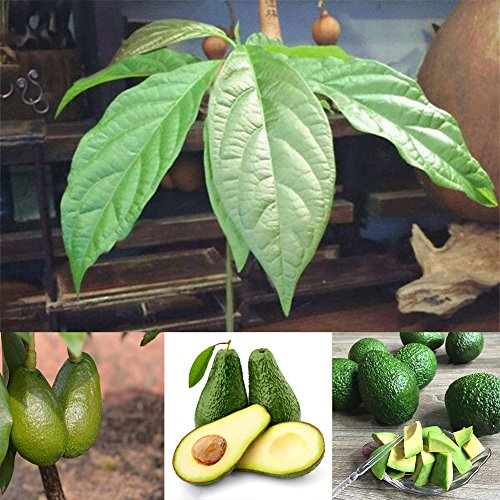 Afco 10Pcs Avocado Seeds Green Fruit Persea Americana Home Garden Plant Easy To Grow Wonderful Gardening Gifts