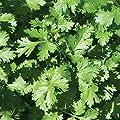 David's Garden Seeds Herb Cilantro Calypso SL2324 (Green) 200 Organic Seeds