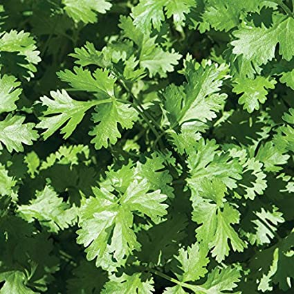 Coriander Cilantro Fresh and Hand Packaged Herb Seeds