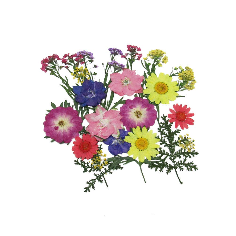 Pomeat 24pcs Daisy Pressed Flower